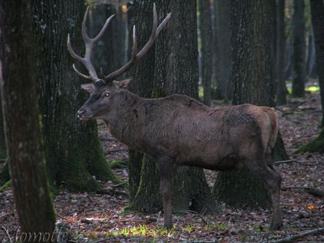 The king of the forest by Momotte2