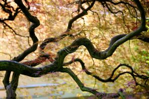 Japanese Maple by Vironevaeh