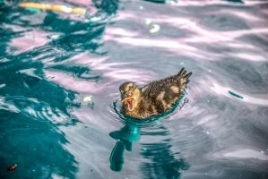 Duckling eating bread by atmp