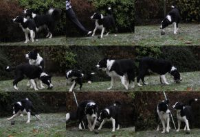 Collie Dogs 12 by Tasastock