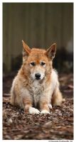 Dingo Portrait II by TVD-Photography