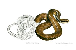 Snake field guide / Rhadinea pulveriventris by Heliocyan