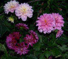 Mixed Dahlia Stock by anbdstock