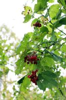 The branch of tree with berries. by Armigerer