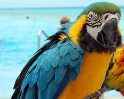 Blue and Yellow Parrot by Dominick-AR