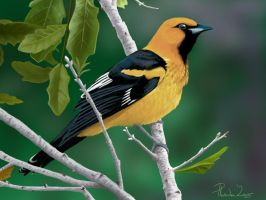 Spot-breasted Oriole by Emberiza