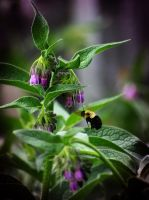 Flight of the Bumble Bee 3 by S-H-Photography