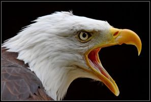 Bald Eagle Portrait by nitsch