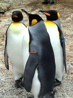 King penguins by Helens-Serendipity