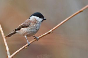 Marsh tit! by Seb-Photos