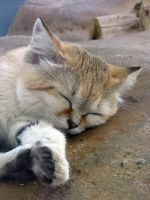 Sand Cat Nap by Teh-Pandacoon