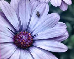 African Daisy by sherln