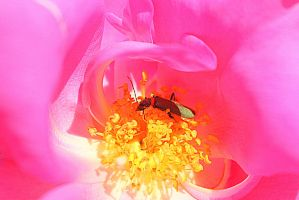 Rose and soldier beetle by wolftraz
