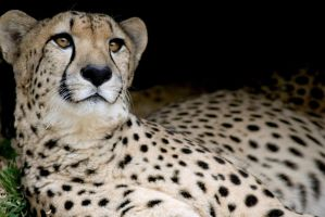Cheetah 15 by Art-Photo