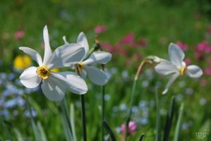 narcissus by Qwchen