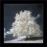 The white tree by Anrold
