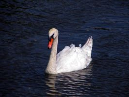 Swan 03 by Pagan-Stock
