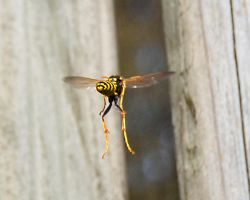 Hanging wasp by FrankAndCarySTOCK