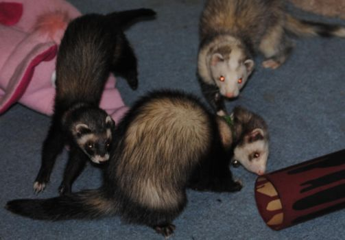 Leaping Ferrets by Chivalricspook
