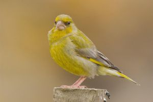 Grumpy- Greenfinch by Jamie-MacArthur