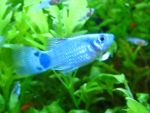 Blue Mickey Mouse Platy by Fishybobo