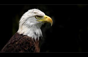 Bald Eagle by tyt2000