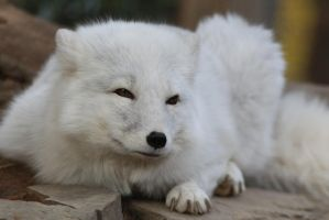 Arctic Fox Stock 6 by HOTNStock