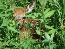 Fawn in my pasture by Anabiyeni