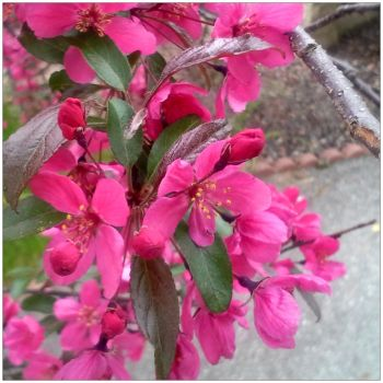 2014-05-27 Crab Apple Blossoms by charliemarlowe