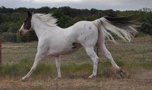 Marshmallow canter by Flight-Stock