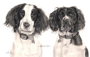 Commission - Springer Spaniels 'Willow and Daisy' by Captured-In-Pencil