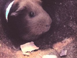 MY GUINEA PIGGY!! by ariskies