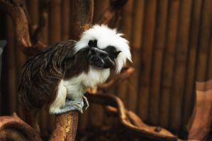 cotton top tamarin by AlmightyGingerOne