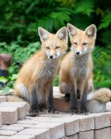 fox x2 by MLeighS