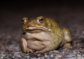 Sonoran Desert Toad by CamStatic