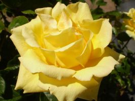 Yellow Rose by SchizophrenicUnicorn