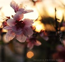 Cherry Blossom Sun by Yumm-Strawberriezz