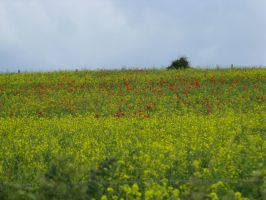 Poppy and rapeseed flower field stock 4 by Sassy-Stock