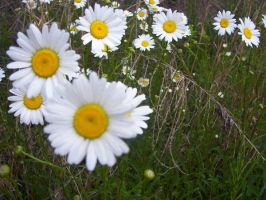 Daisies by orionsreverie