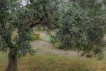 Mainly Olive Tree by Rikitza