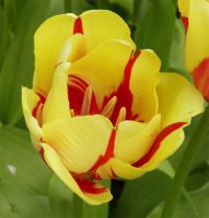 Yellow tulip by JanuaryGuest