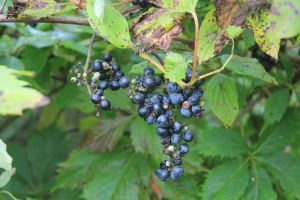 Wild Grape by LaurieSalzler