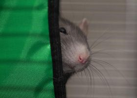 Peek a boo rat by stphq