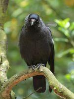jackdaw II by pagan-live-style