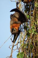 Flying fox suspended 1 by wildplaces