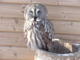 Great Grey Owl stock 2 by Holo12-stock