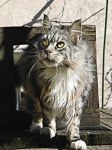 ..My maine coon........ by Flore-stock