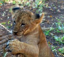 Lion Cubs 1 by HDevers