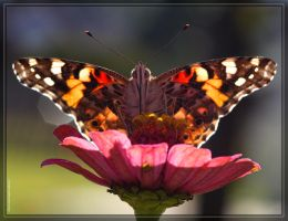 Painted Lady 40D0029070 by Cristian-M