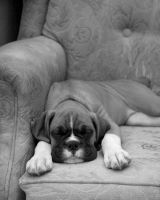Boxer puppy 2 by 30-noir